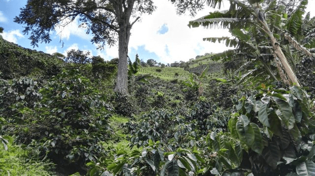 arboles de cafe