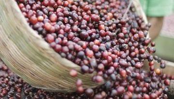 La Importancia en la Transparencia del Precio del Café Verde