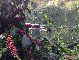 Vietnamese Coffee & The Path Towards High-Quality Arabica