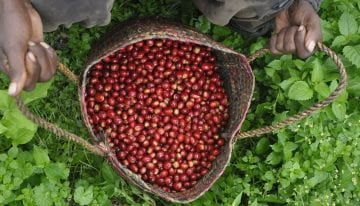 Batian: ¿Puede Esta Nueva Variedad Transformar el Café de Kenia?