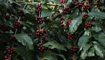 Perspectiva del Productor: Cómo Producir Café de Especialidad