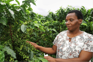 Ruth Gopo, Secretary of the Honde Valley Cooperative, picking coffee cherries