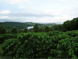 Zimbabwean Coffee: Rising From The Ashes