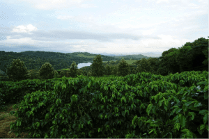 Zimbabwean coffee farm
