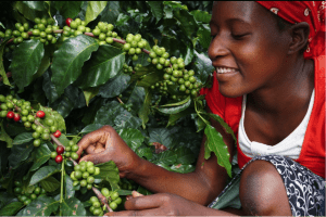 Zimbabwean woman picking coffee cherries