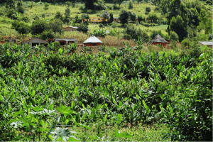 Zimbabwean small-scale coffee farm