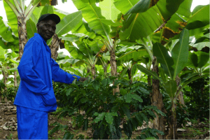 Intercropping coffee with bananas in Zimbabwe