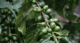 Cultivo Bajo Sombra: ¿Reduce los Efectos del Cambio Climático?