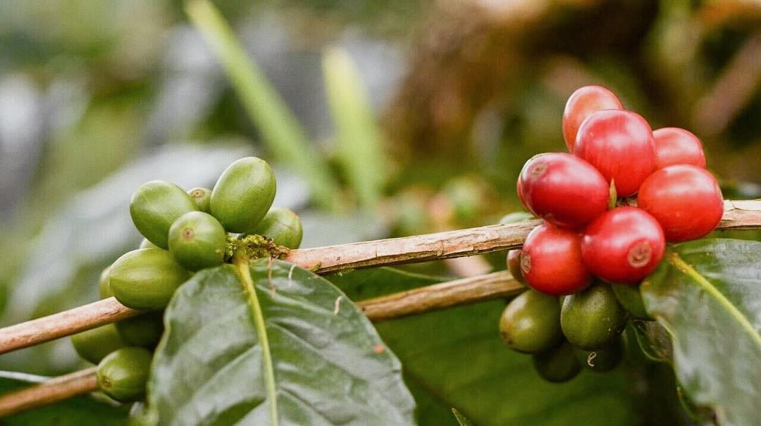 Ripe and unripe coffee