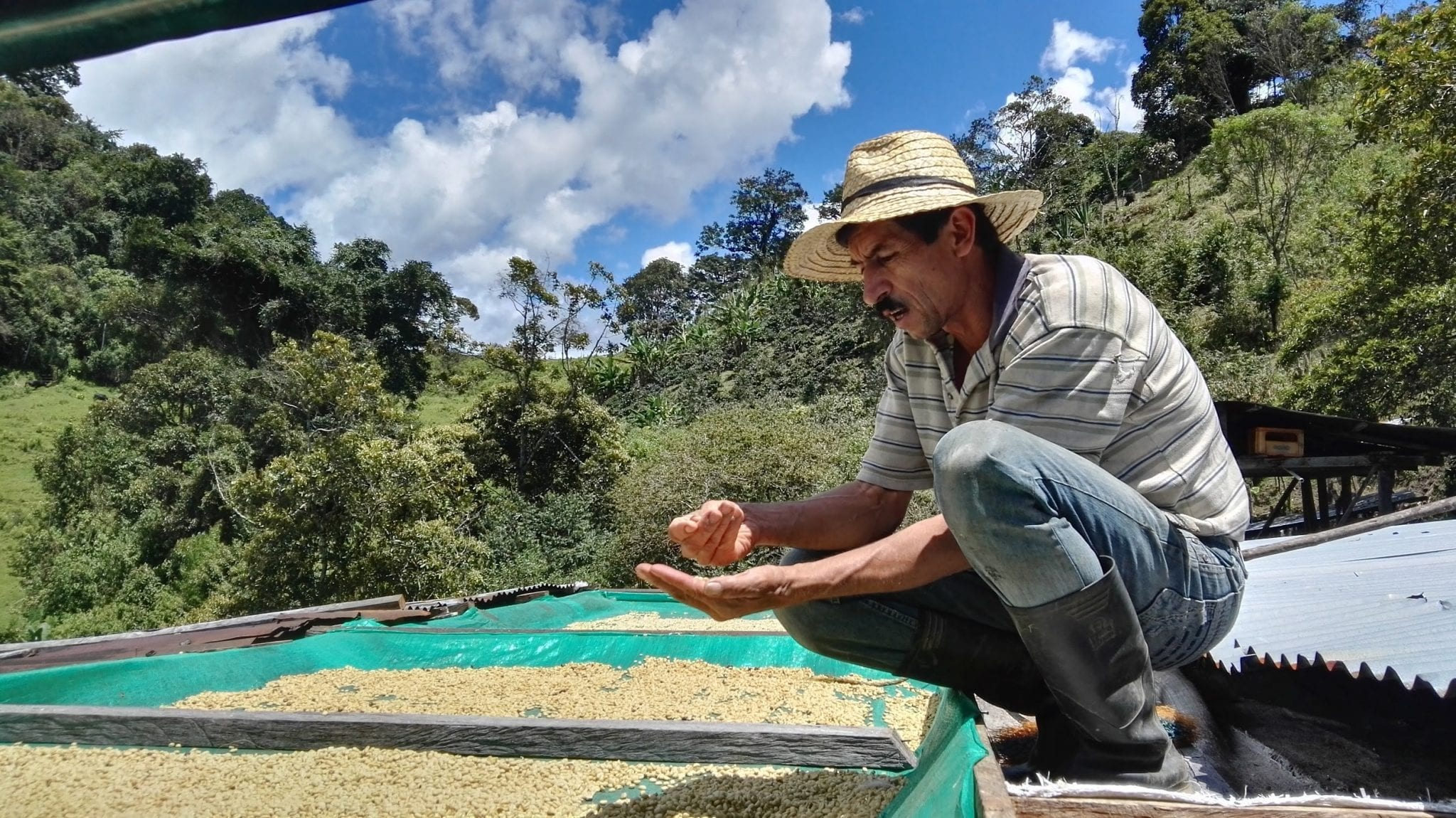 producer inspects washed coffee