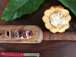 Is Criollo Really King? The Myth of The 3 Cacao Varieties