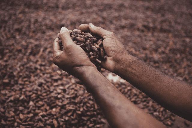 cacaotero