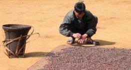 La Transición De Los Productores De Laos al Café De Especialidad