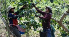 From Seed to Cup: How Do Producers Grow Coffee?