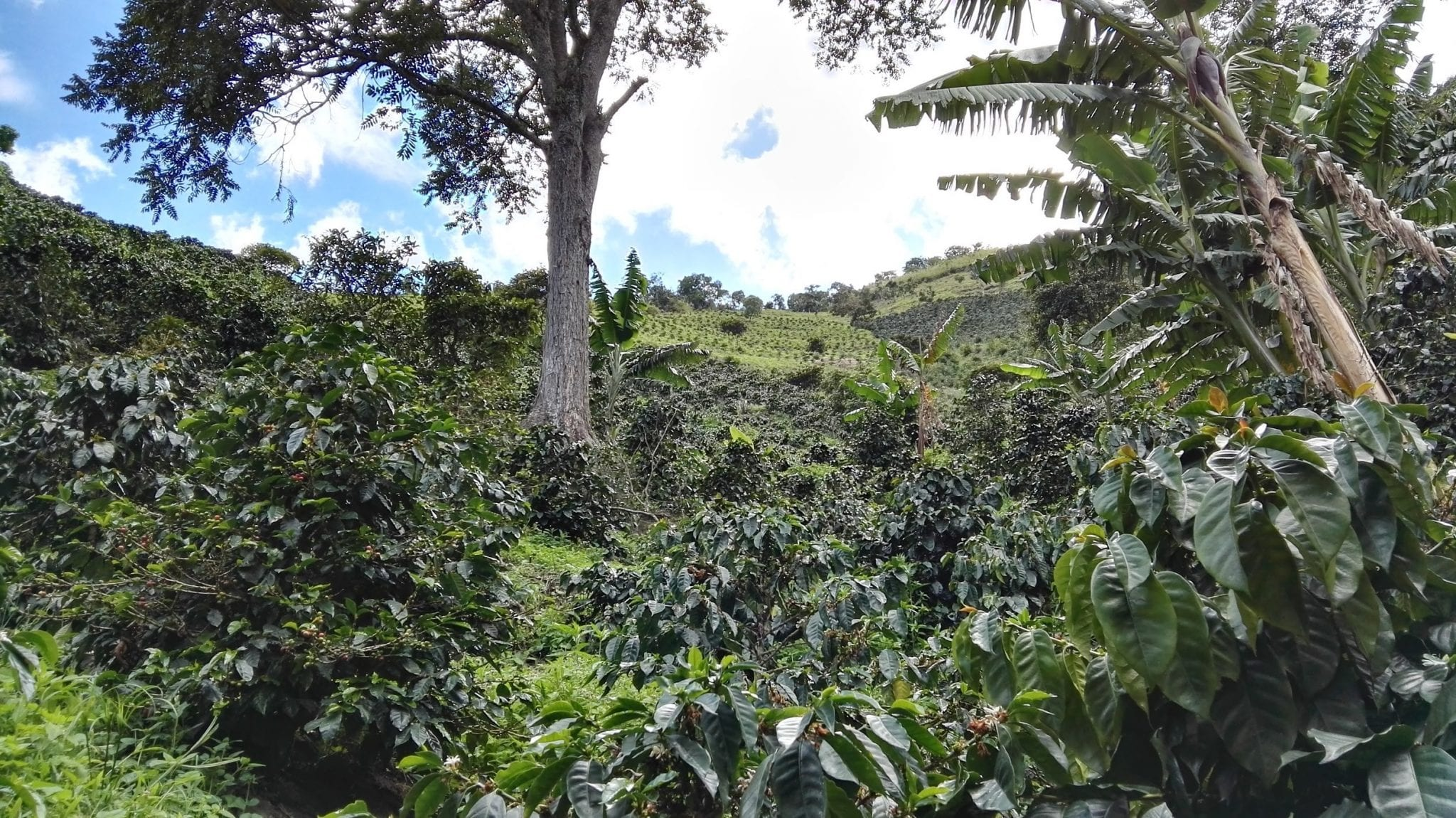 Castillo coffee trees on a farm