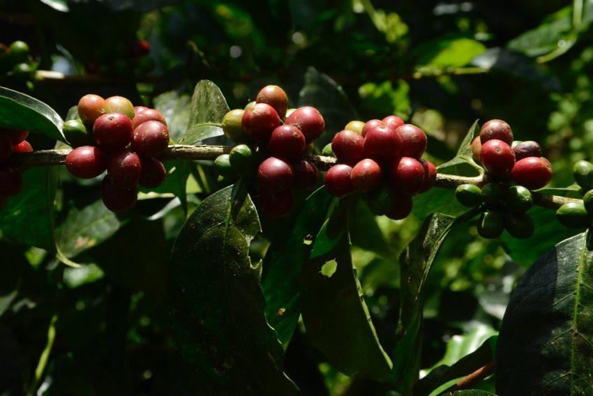 Cerezas de variedad Caturra