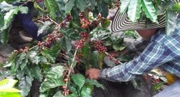 Can We Improve Efficiency & Quality in Coffee Picking?
