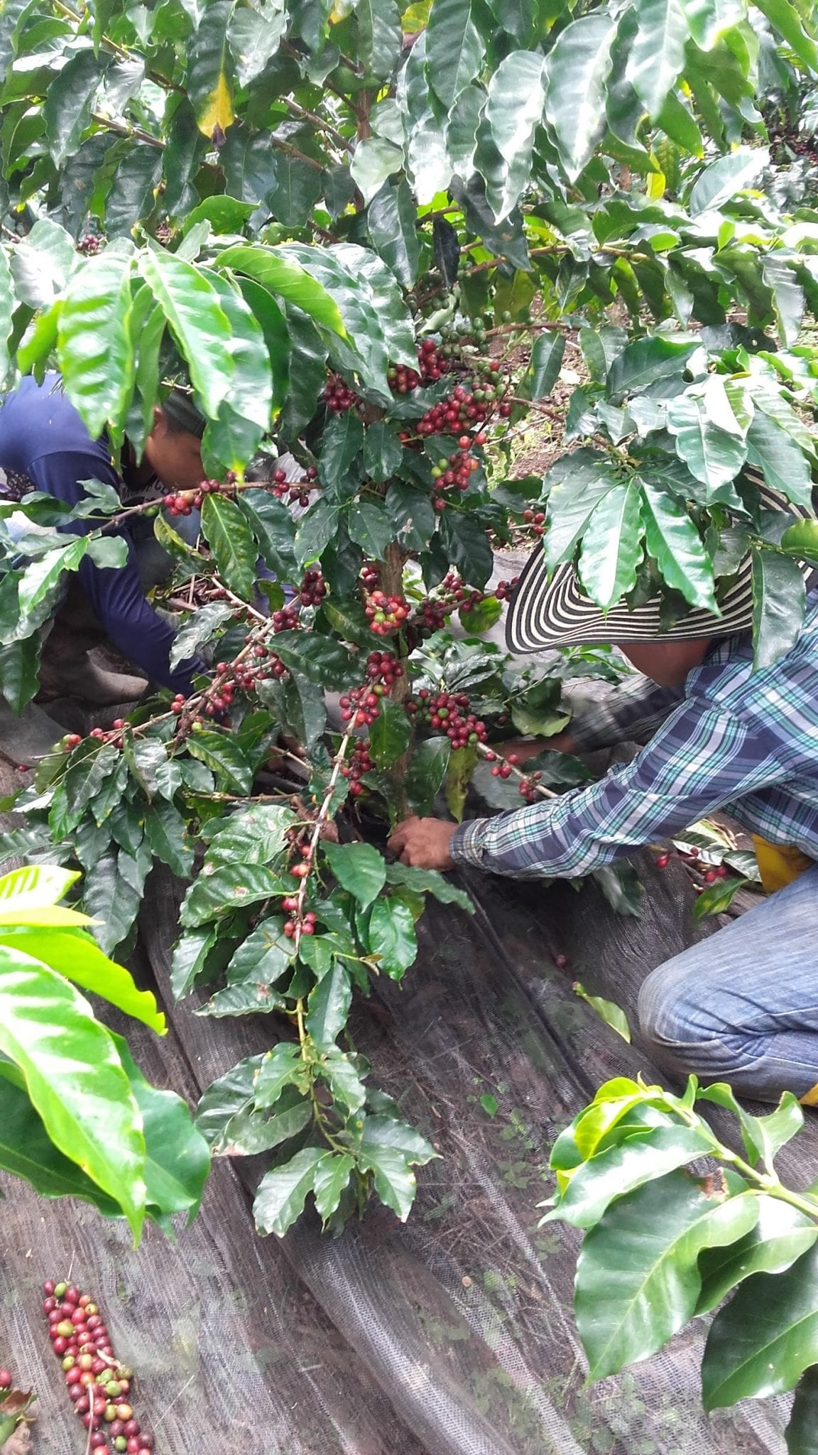 Coffee producers pick ripe coffee cherries