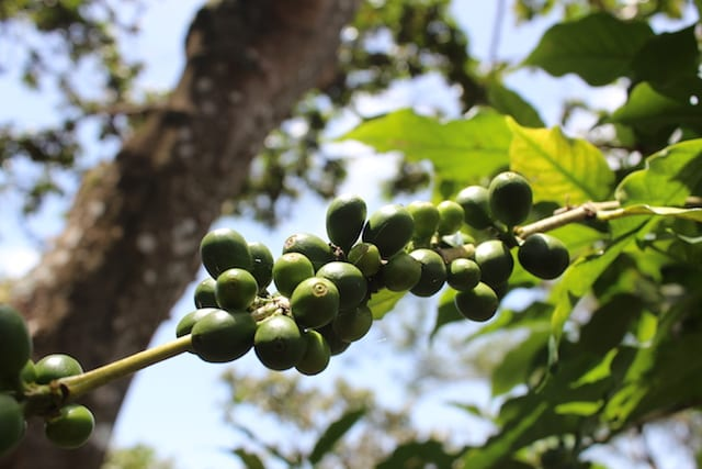 Coffee berries in Guatemala.