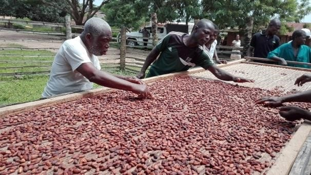 Producers examine cacao