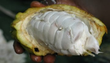 Why You Should Know About Fine Togolese Cacao