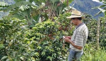 Recolección De Café: ¿Cómo Mejorar La Eficiencia Y La Calidad?