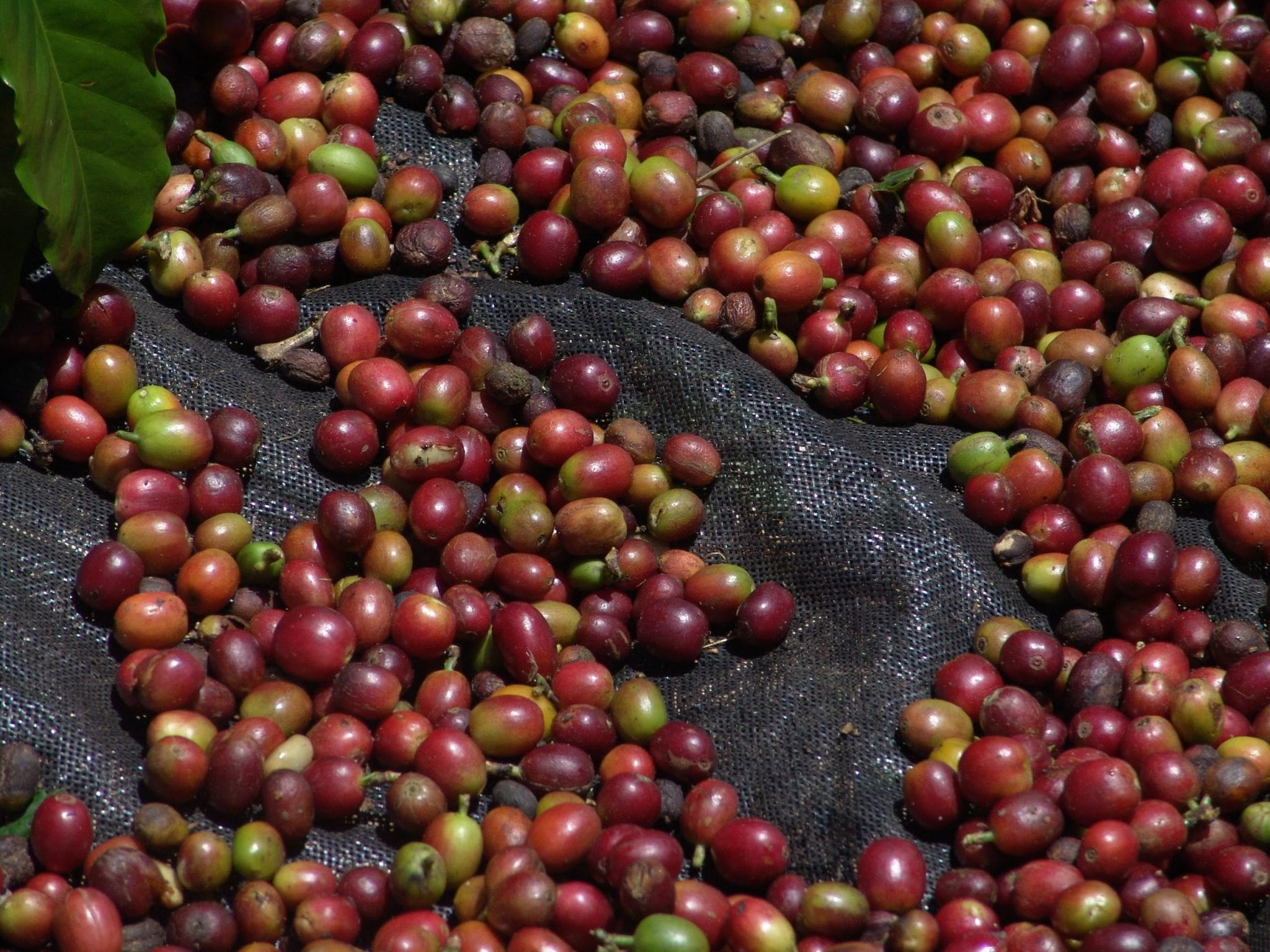 recently picked coffee ripe cherries