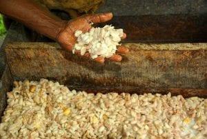 Farmer David Kebu holds fermenting cacoa beans.