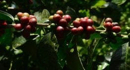 A Broken Coffee Market: Why Specialty Farmers Are Going Bankrupt