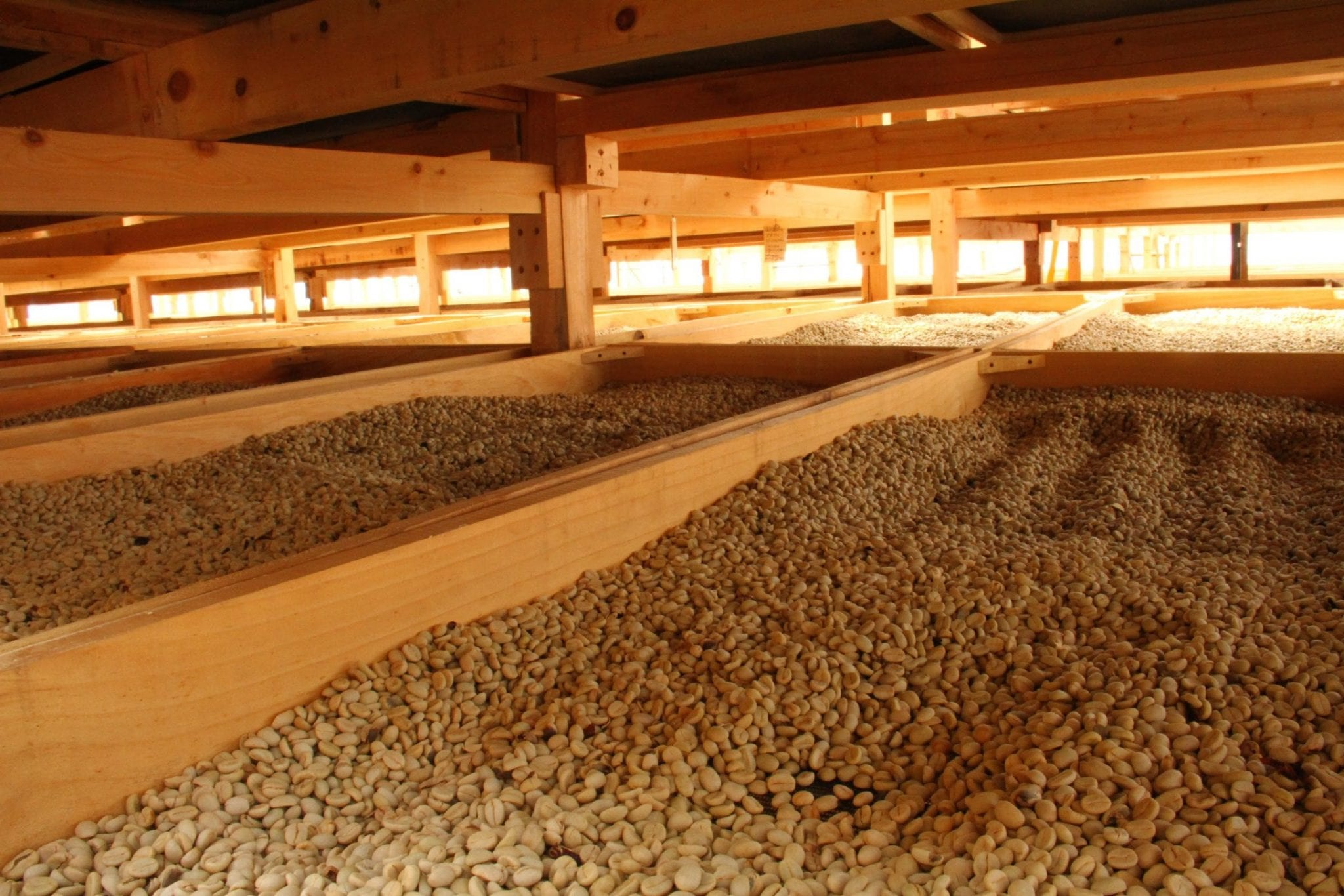 Beds of coffee beans drying.