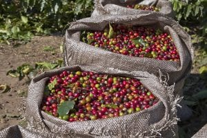 ripe and unripe coffee cherries in bag
