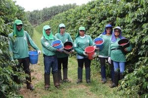 coffee pickers with ripe coffee cherries in buckets next to coffee trees