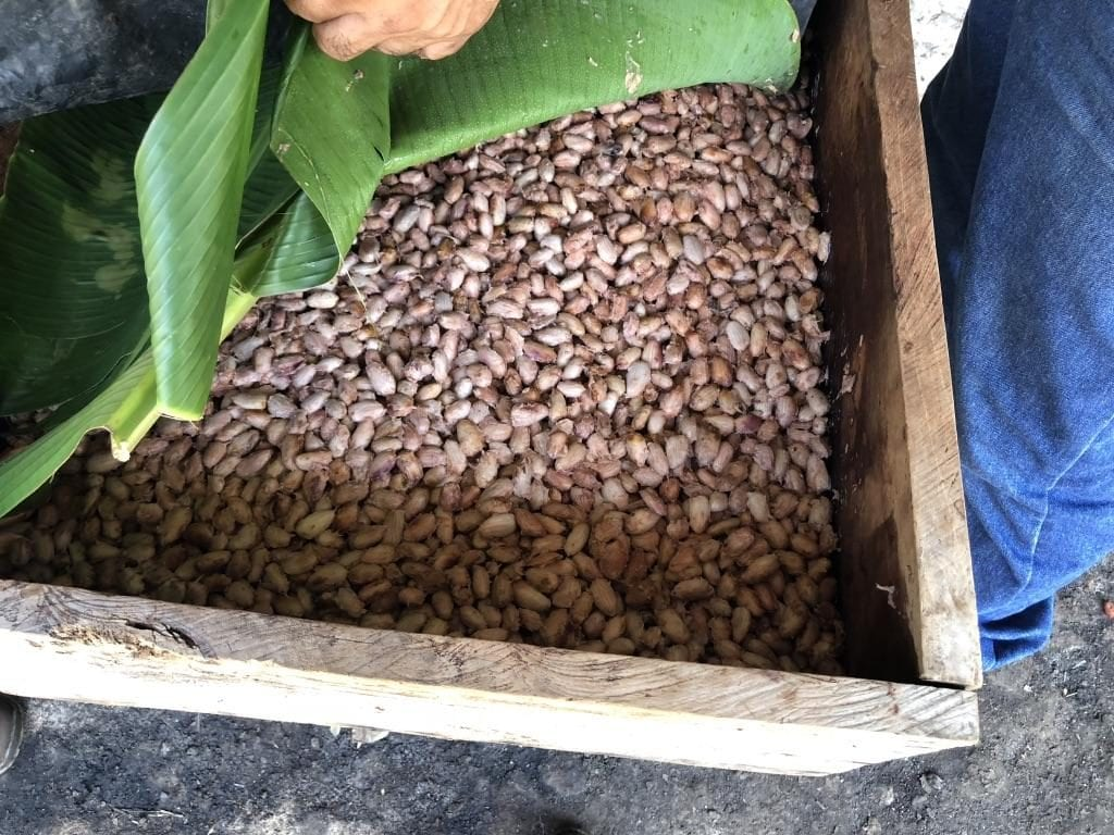 Cacao beans under banana leaves during fermentation.