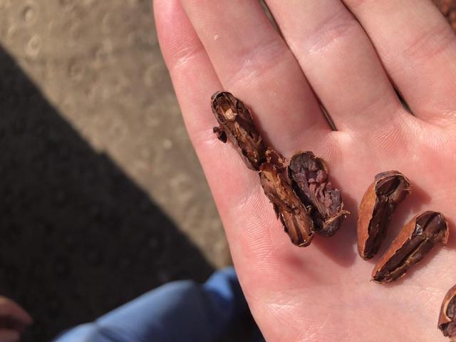 Cacao on a hand during a cut test.