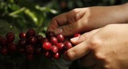 Coffee Origins: The Distinct Acidity of San Marcos, Guatemala