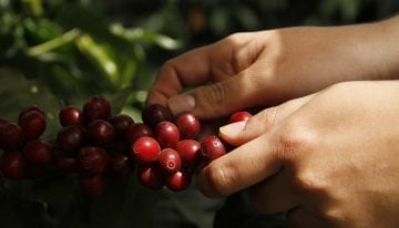 Coffee Origins: The Distinct Acidity of San Marcos, Guatemala