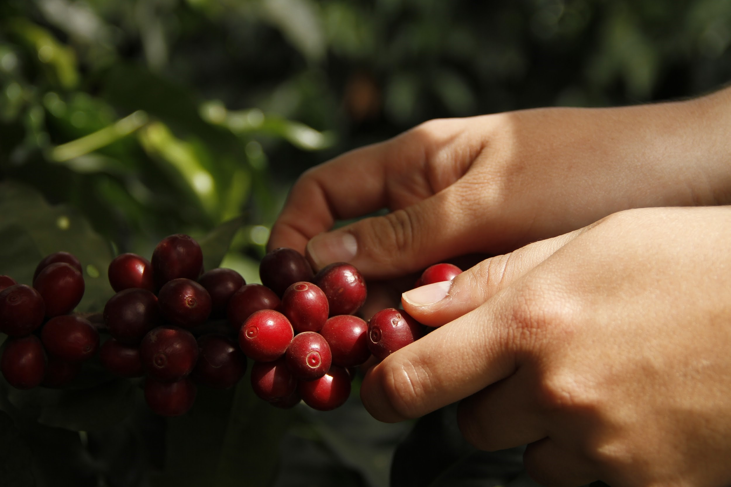 Picking coffee cherries from a bush.