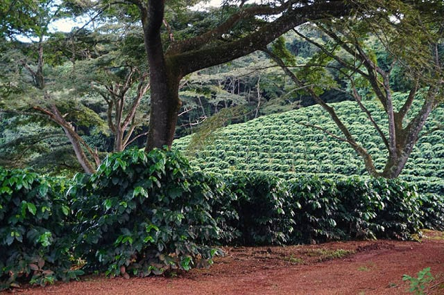 flowering shade grown coffee farm