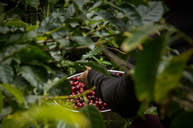 picking coffee cherries in coffee farm