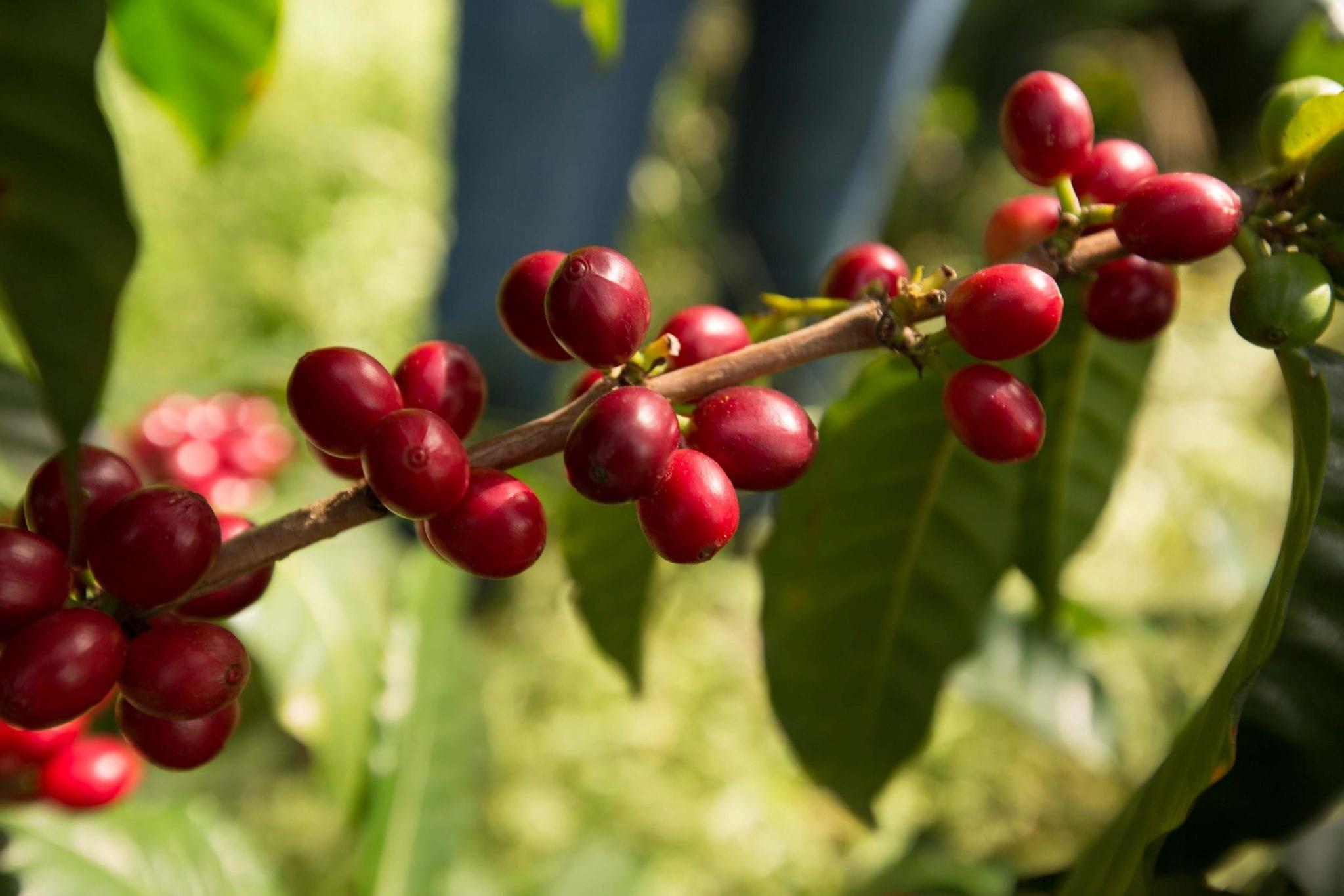 cerezas de cafe maduras listas para recoleccion