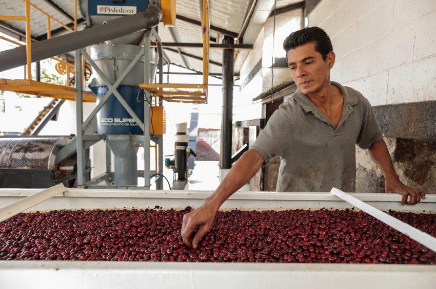 cerezas de cafe maduras para procesar