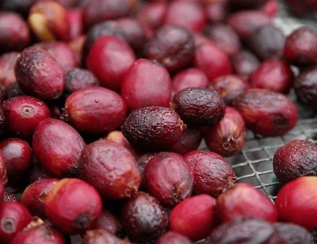 varias cerezas de cafe recien recolectadas