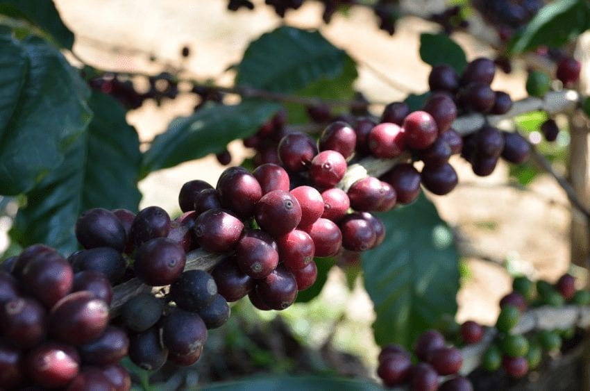 cerezas de cafe maduras