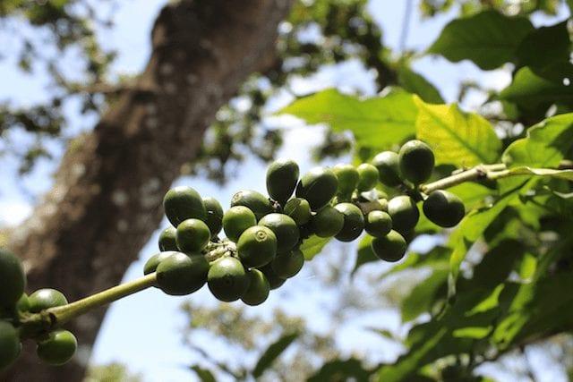 cerezas verdes de cafe
