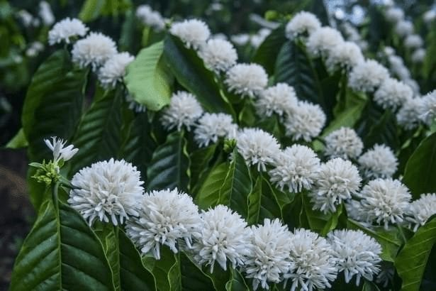 floracion de arboles de cafe