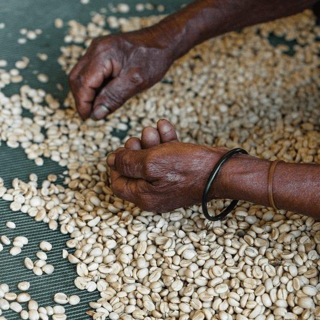 productora clasifica los granos de cafe