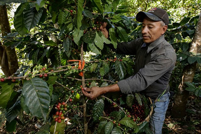 farmer picking coffee cherries from tree