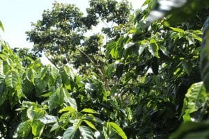 Coffee trees at coffee farm