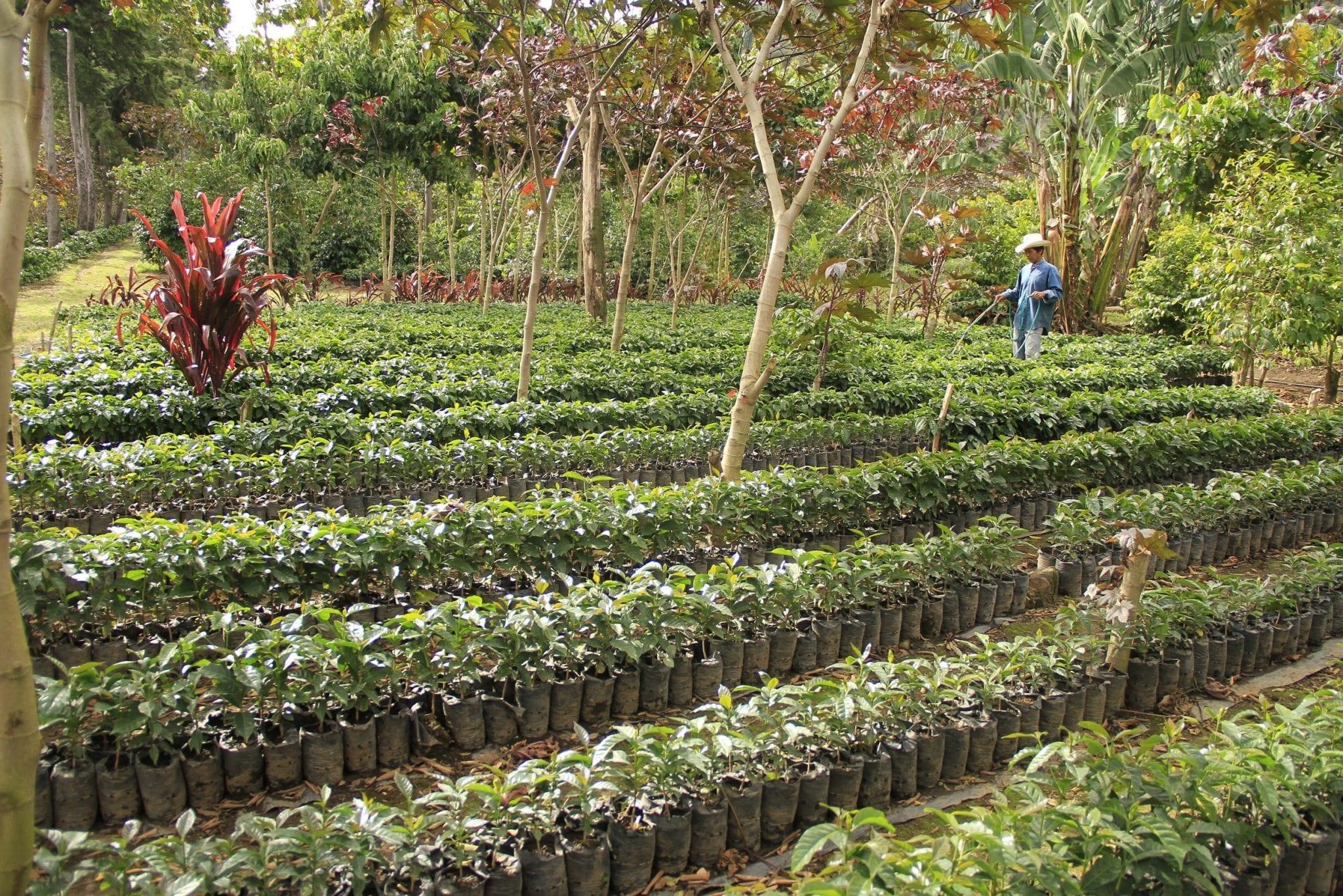 Plantulas de cafe en finca en Guatemala