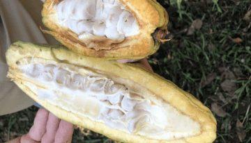 Chocolate Y Cacao Crudos: ¿Alimentos Saludables O Peligrosos?